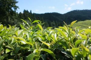 planta té verde